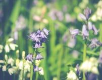会开蓝色钟形花的草木头苏格兰 免版税图库摄影