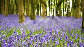 会开蓝色钟形花的草木头 免版税库存图片