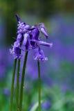 会开蓝色钟形花的草束 图库摄影