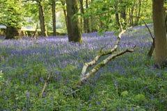 会开蓝色钟形花的草树丛,伯勒屯修道院庄园,约克夏,英国 免版税图库摄影