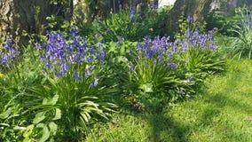 会开蓝色钟形花的草树 免版税库存照片
