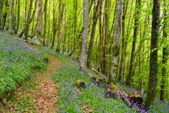 会开蓝色钟形花的草森林在康沃尔郡 库存图片