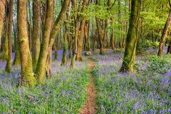 会开蓝色钟形花的草森林在康沃尔郡 库存照片