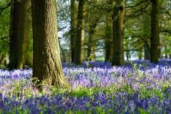 会开蓝色钟形花的草森林地在一个古老英国森林地 免版税库存图片
