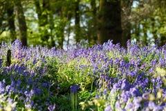 会开蓝色钟形花的草森林地在一个古老英国森林地 库存图片