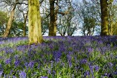 会开蓝色钟形花的草森林地在一个古老英国森林地 免版税图库摄影