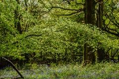 会开蓝色钟形花的草森林地在一个古老英国森林地 库存照片
