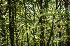 会开蓝色钟形花的草森林地在一个古老英国森林地 图库摄影