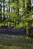 会开蓝色钟形花的草森林地在一个古老英国森林地 免版税库存照片