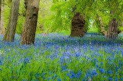 会开蓝色钟形花的草森林地在春天 库存图片
