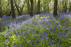 会开蓝色钟形花的草森林地 免版税库存照片