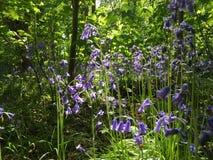会开蓝色钟形花的草森林地 图库摄影