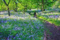 会开蓝色钟形花的草森林春天英国 免版税库存图片
