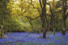 会开蓝色钟形花的草森林的惊人的风景图象在春天 免版税库存照片
