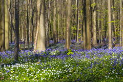 会开蓝色钟形花的草森林, Tranendal (泪珠谷)在Hallerbos,比利时 图库摄影