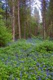 会开蓝色钟形花的草森林 免版税库存图片