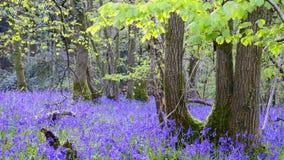会开蓝色钟形花的草森林 股票录像
