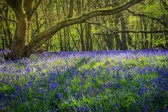会开蓝色钟形花的草森林 库存图片