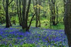 会开蓝色钟形花的草森林 免版税图库摄影