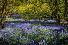 会开蓝色钟形花的草森林 库存照片