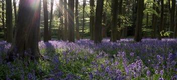 会开蓝色钟形花的草森林 图库摄影