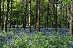 会开蓝色钟形花的草森林1 库存图片