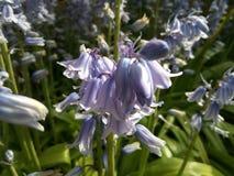 会开蓝色钟形花的草植物花园蓝色 免版税库存图片
