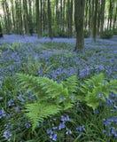 会开蓝色钟形花的草正方形 免版税库存照片