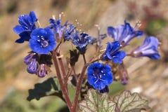 会开蓝色钟形花的草沙漠 库存图片