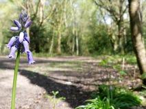 会开蓝色钟形花的草特写镜头有被弄脏的森林地背景,Chorleywood共同性 库存图片
