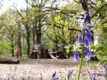 会开蓝色钟形花的草特写镜头有被弄脏的自然玩耍区域背景,Chorleywood共同性 库存照片