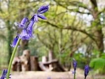 会开蓝色钟形花的草特写镜头有被弄脏的自然玩耍区域背景,Chorleywood共同性 免版税库存照片