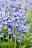 会开蓝色钟形花的草特写镜头  库存图片