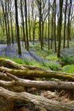 会开蓝色钟形花的草看法在春天,有青苔的包括日志和森林地 免版税图库摄影