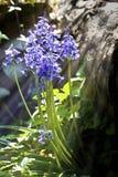 会开蓝色钟形花的草结束放出阳光  免版税图库摄影