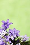 会开蓝色钟形花的草绿色 库存照片