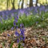 会开蓝色钟形花的草花在前景的焦点 在背景中,狂放的会开蓝色钟形花的草地毯在树中的在Ashridge 库存图片