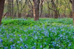 会开蓝色钟形花的草花的领域 图库摄影