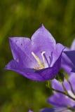 会开蓝色钟形花的草花草绿色 免版税库存图片