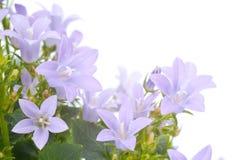 会开蓝色钟形花的草花 免版税库存照片