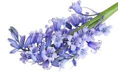 会开蓝色钟形花的草花 免版税库存图片