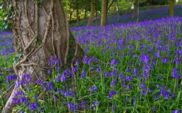 会开蓝色钟形花的草英语典型的木头 免版税图库摄影