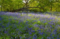 会开蓝色钟形花的草英语木头 图库摄影