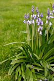 会开蓝色钟形花的草草坪 库存照片