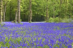 会开蓝色钟形花的草视图 免版税库存图片