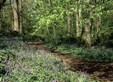 会开蓝色钟形花的草赫特福德郡木头 图库摄影