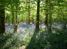 会开蓝色钟形花的草起斑纹的星期日 库存图片
