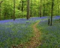 会开蓝色钟形花的草路径森林 免版税库存照片