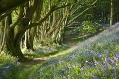 会开蓝色钟形花的草路径,英国 库存照片