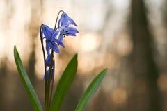 会开蓝色钟形花的草, snowdrop在森林里,在日落的铃兰,春天花,第一朵花在冬天以后,响铃,蓝色花, b 库存图片
